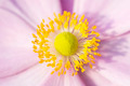 Anemone Pink flower with yellow stamens September Charm - PhotoDune Item for Sale