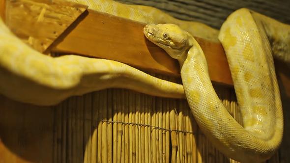 VideoHive Pyhton Snake 9677009