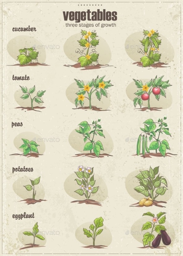 GraphicRiver Set of Vegetables with Three Stages of Growth 9678043