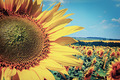 field with blooming sunflowers, summer landscape  - PhotoDune Item for Sale