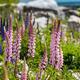 Majestic mountain with llupins blooming, Lake Tekapo, New Zealand - PhotoDune Item for Sale