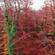 Autumn Aerial Up to the Top of the Beech Trees - VideoHive Item for Sale