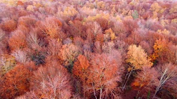 Aerial View Flying Over the Top of the Beech Trees