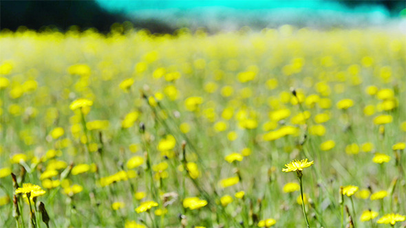 VideoHive Yellow Wild Flowers Meadow 9687458