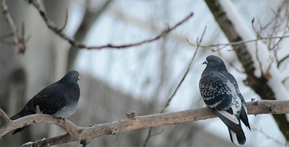 VideoHive Pigeons 2 9689213