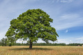 Lonely Oak Tree - PhotoDune Item for Sale