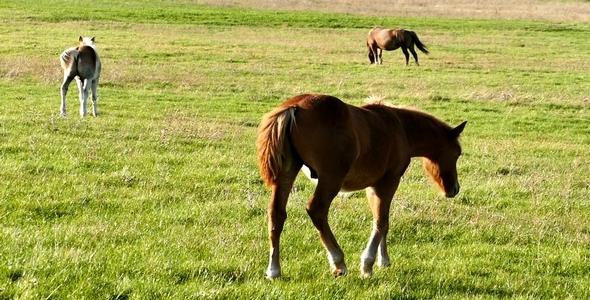 VideoHive Horses 5 9701214