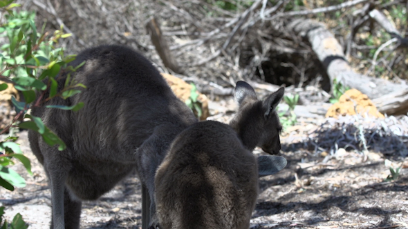 VideoHive Mother Kangaroo Cleaning Her Baby In Cape Le Grand National Park 9706005