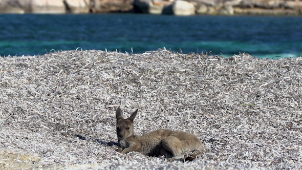 VideoHive Baby Kangaroo Relaxing On The Lucky Bay Beach In Cape Le Grand National Park 9706014