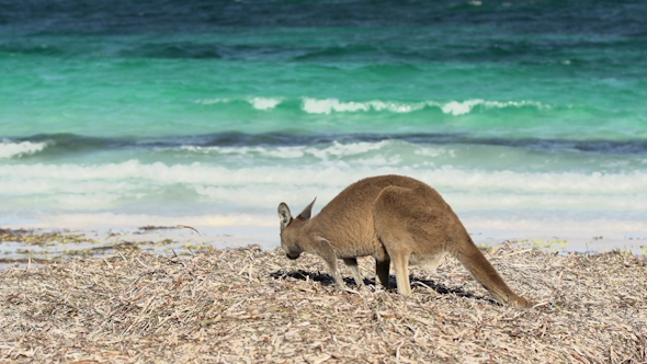 VideoHive Kangaroo At Lucky Bay Beach In Cape Le Grand National Park 9706015