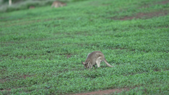 VideoHive Little Wallaby In Mission Beach Australia 9706058
