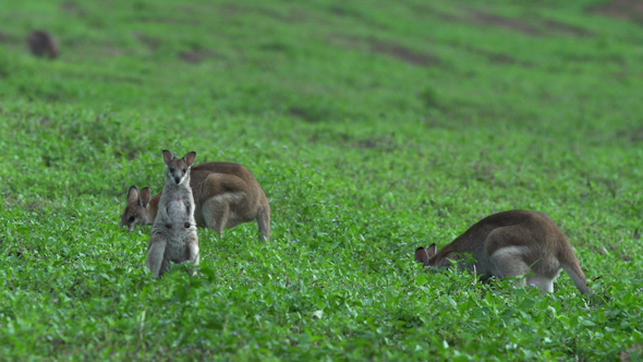 Group Of Wallabies On A Grass Field In Mission Beach Queensland Australia