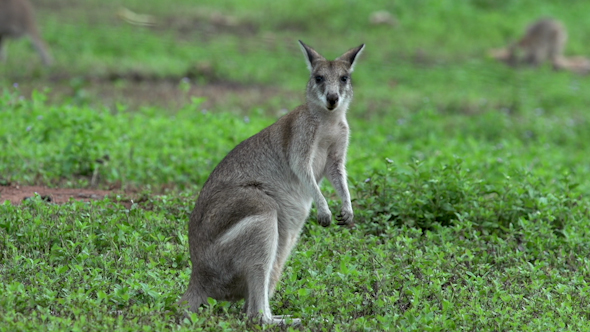 Wallaby Looking In To The Camera And Eating Grass