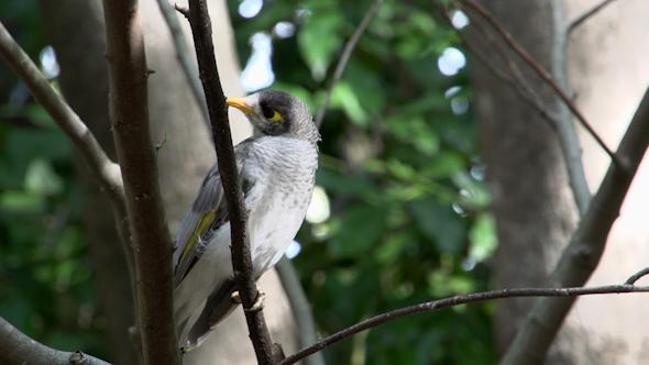 VideoHive Little Gray Bird In A Tree In Brisbane 9706231