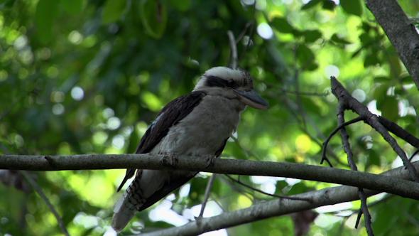 VideoHive Kookaburra Looking Around In A Tree 9706258