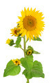 flowers sunflower isolated on white background - PhotoDune Item for Sale