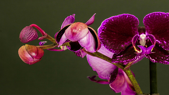 VideoHive Purple Orchid Opening 2 9709869