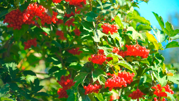 VideoHive Guelder Rose Viburnum Opulus Berries 9711827