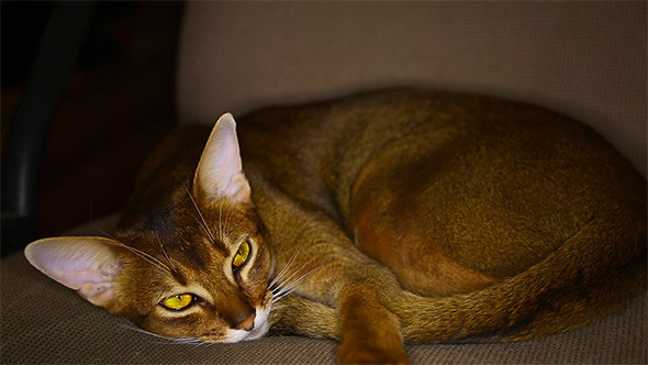 VideoHive Abyssinian Cat 9712006