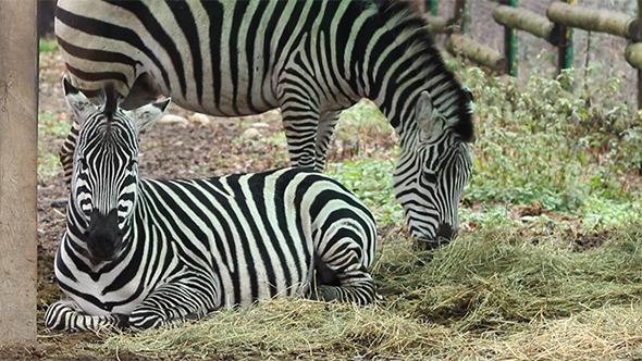 VideoHive Zebras Grazing 9712534