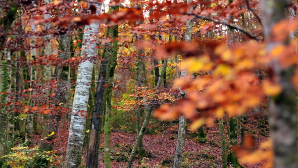 VideoHive Beech Forest with Falling Leaves in Fall 9713433