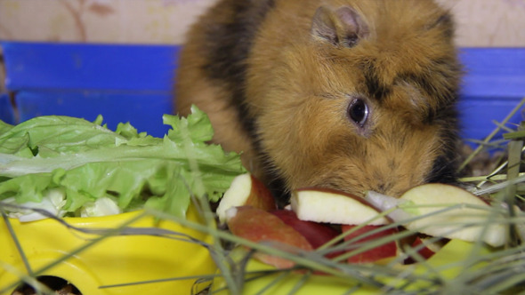 VideoHive Guinea Pig 7 9714874