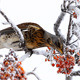 Thrush Eats Rowanberry - VideoHive Item for Sale