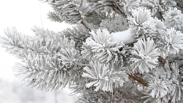VideoHive Fir Tree in Winter 9715202