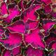 Fancy Leaf Coleus - PhotoDune Item for Sale