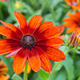 Autumn rudbeckia - PhotoDune Item for Sale