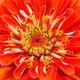 Garden Zinnia - PhotoDune Item for Sale