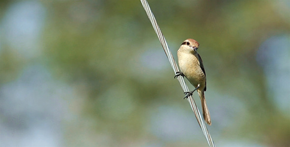 VideoHive Brown Shrike Lanius cristatus 9718222