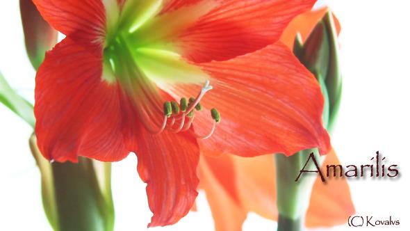VideoHive Amaryllis Flower 5 9721613