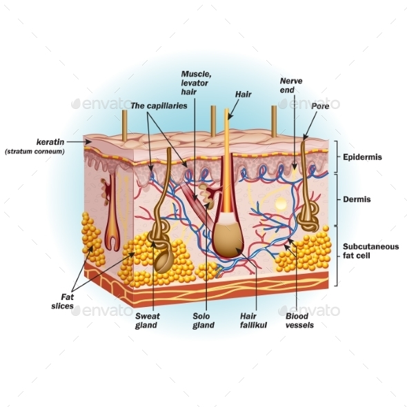 GraphicRiver Structure of Human Skin Cells 9724756