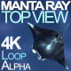 Manta Ray Top View - VideoHive Item for Sale