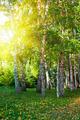summer birch forest - PhotoDune Item for Sale