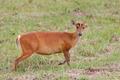 barking deer - PhotoDune Item for Sale