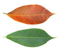 Rubber leaves - PhotoDune Item for Sale