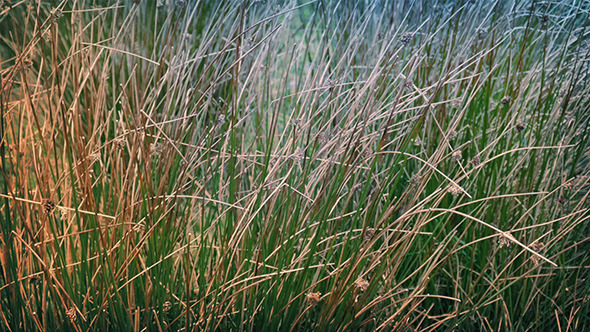 Long Grass In Breeze