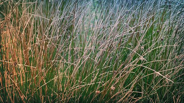 Long Grass In Breeze