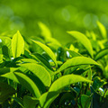 Fresh tea leaves closeup - PhotoDune Item for Sale
