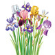 Bouquet of Iris Flowers - GraphicRiver Item for Sale