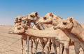camels in the desert - PhotoDune Item for Sale