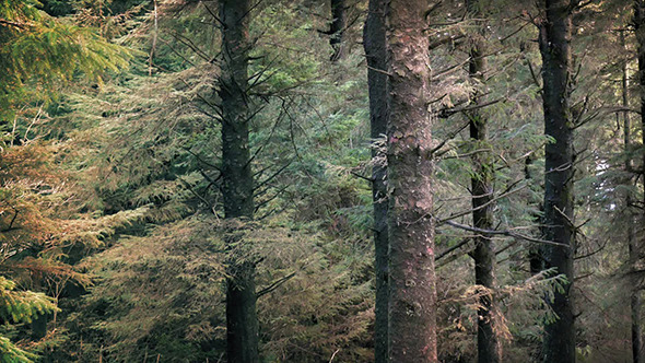 Tall Trees In Evergreen Forest
