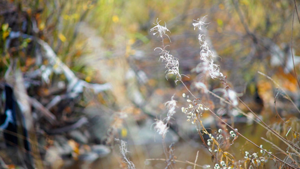 VideoHive White Willow-Herbs In Autumn Forest 9752472