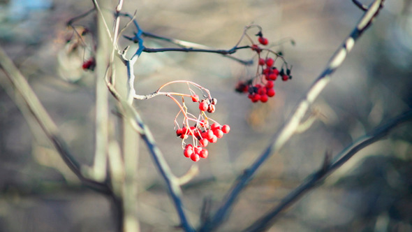 Field-Ash Tree With Bright Red Berries