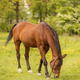Horse on Pasture - PhotoDune Item for Sale