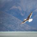 Sea Gull in New Zealand coast. - PhotoDune Item for Sale