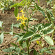 Flowering tomato plants - PhotoDune Item for Sale