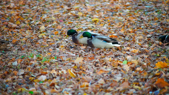 Ducks With Green Heads Walking In Autumn Forest